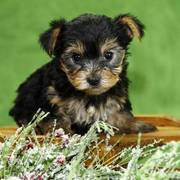 Well trained yorkie puppies ready to go